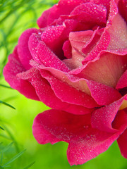 Pink roses  isolated on green.