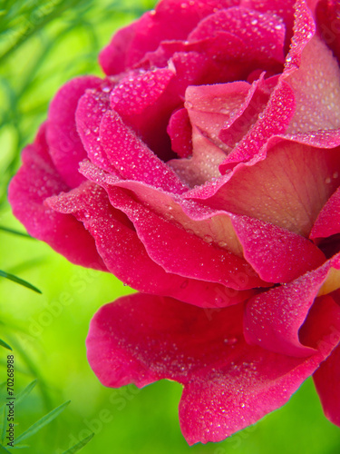 canvas print picture Pink roses  isolated on green.