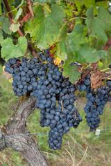 Raisins rouges sur pied de vigne