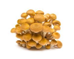agaric mushrooms closeup on white background