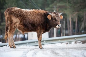Caucasian calf