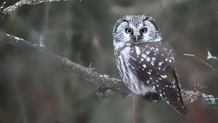 Boreal Owl, Aegolius funereus, a close view
