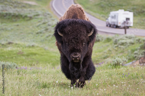 Aluminium Buffel wild bison in yellowstone