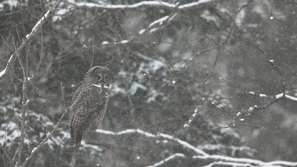 A Great Gray Owl, Strix nebulosa, in a blizzard in Algonquin in