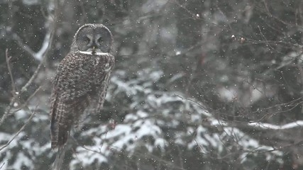 A close view of a Great Gray Owl, Strix nebulosa, in Algonquin i