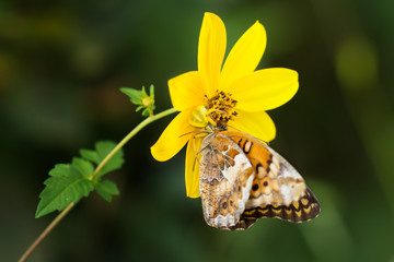 Crab spider eating butterfly in wild
