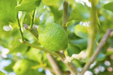 Organic lime tree