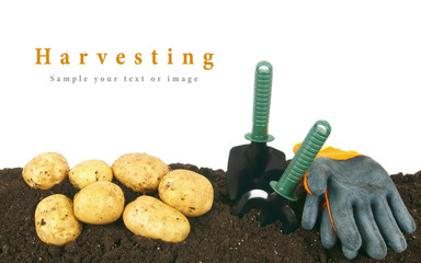 Harvesting. A potato and gardening tools on earth.