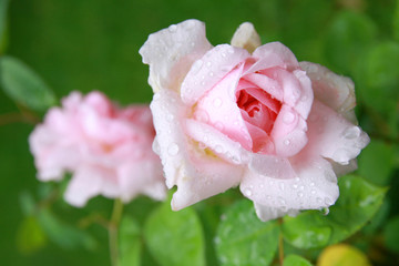 Rosa Rosen im Morgentau