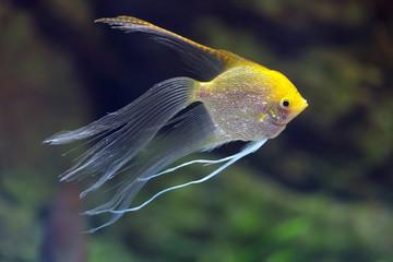 Pterophyllum fish