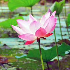 Colorful pink water lily