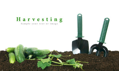 Harvesting. Cucumbers and garden tools on earth.