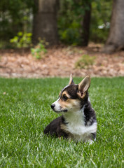 Young corgi dog