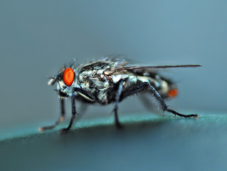 Housefly fly.