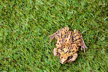 Overhead View of Common Frog on Grass