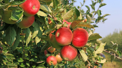 Ripe apple in orchard, ready for picking