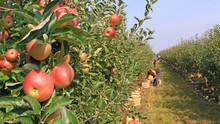 """Постер, картина, фотообои """"Apple picking in orchard"""""""
