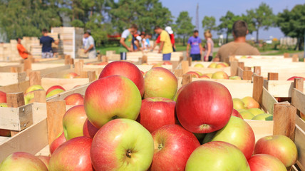 Cart full of apples after picking, workers sorting