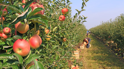 Apple picking in orchard © branex