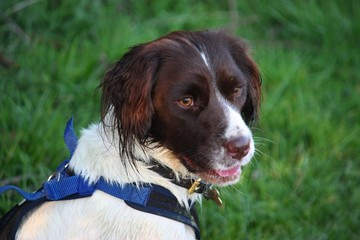 a very cute liver and white working type english springer spanie