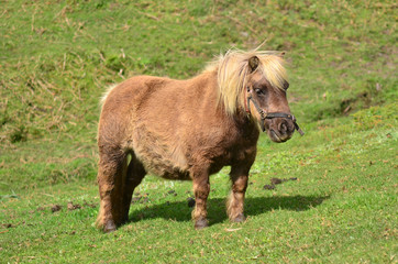 Brown Pony outdoor