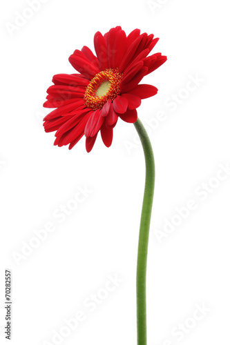 In de dag Gerbera Red gerbera daisy isolated on white background