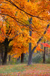 Bright yellow autumn trees in Michigan