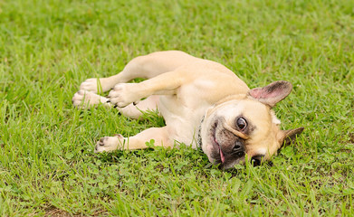 French Bulldog rest  on green grass