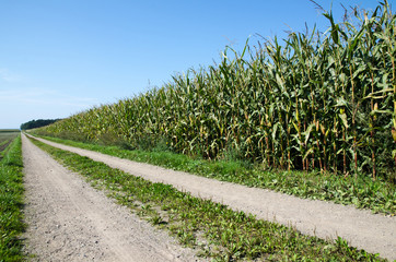 Corn field by a country road