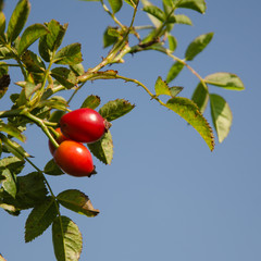 Rosehips at a branch