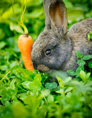 Funny baby gray rabbit with a carrot in grass