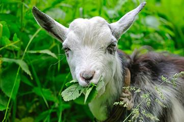 Goat chews leaves