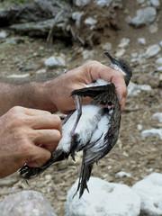 Puffin d'Audubon, baguage, Iles Seychelles.