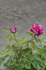 Twig of beauty fragrant rose with bud