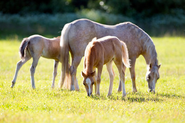 Mare with two foals in field