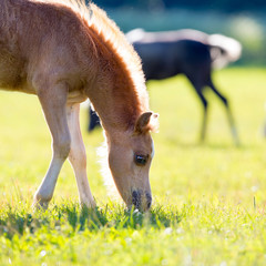 Foal eating grass in summer