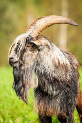 Portrait of a goat with beautiful horns and long beard