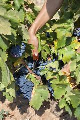 Raisins de vendange et sécateur