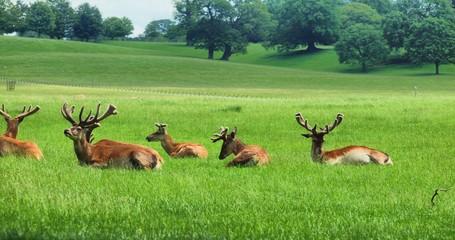Deers in the UK zoo
