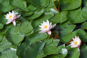 three beautiful water lilies with green leaves in the lake