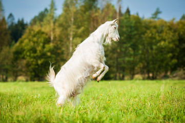 Goat standing up on its hind legs on the pasture