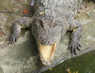 close up head  Siamese crocodile in zoo