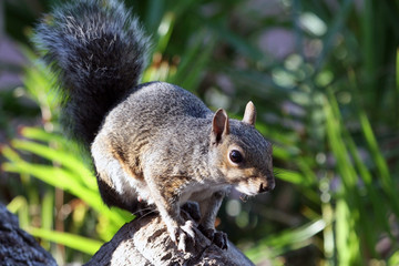 Squirrel African, Cape town, South Africa, Белка африканская,