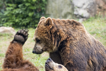 Two brown grizzly bears while fighting