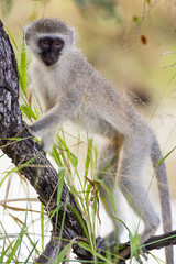 A naughty wild Vervet Monkey standing on a branch