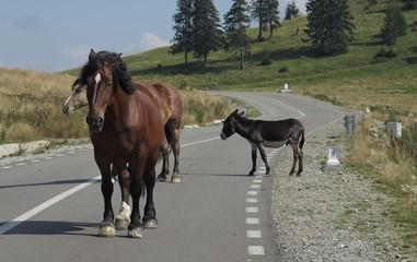 horses in Bihor carst mountains in Apuseni in Romania