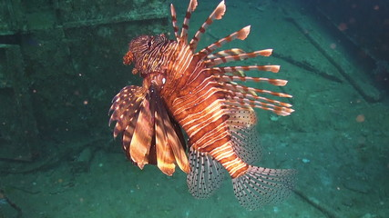 African lionfish on Coral Reef, Red sea