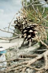 шишка на пляже