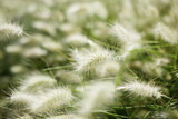 Feather grass