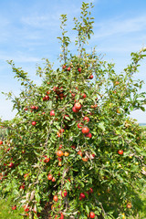 apple trees loaded with apples in an orchard in summer